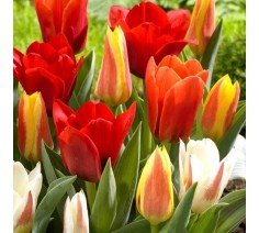 Dwarf Tulips Mixed Varieties 10 Bulbs