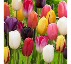 Single Tulips Mixed Varieties 10 Bulbs