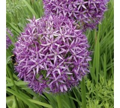 Allium Christophii 20 Bulbs